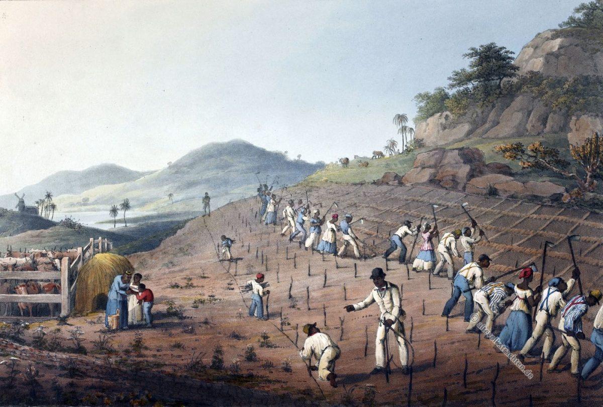 Antigua, Kolonialismus, Zuckerrohrfeld, Bermudas, Zuckerrohr, Sklaven, Saccharum officinarum, William Clark, Zuckermühle, Sklavenarbeit
