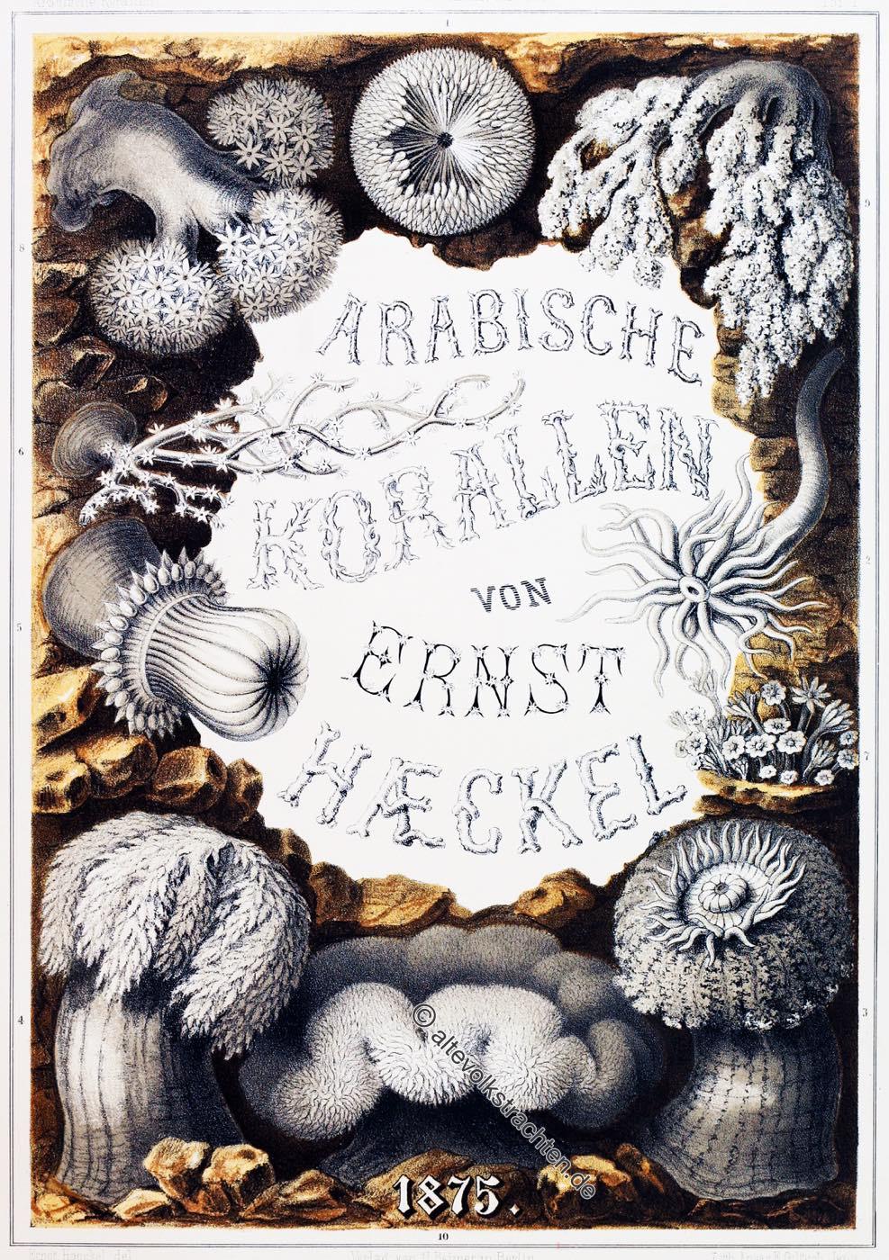 Arabische Korallen, Ernst Haeckel, Korallenriff, Rotes Meer, Sinai,