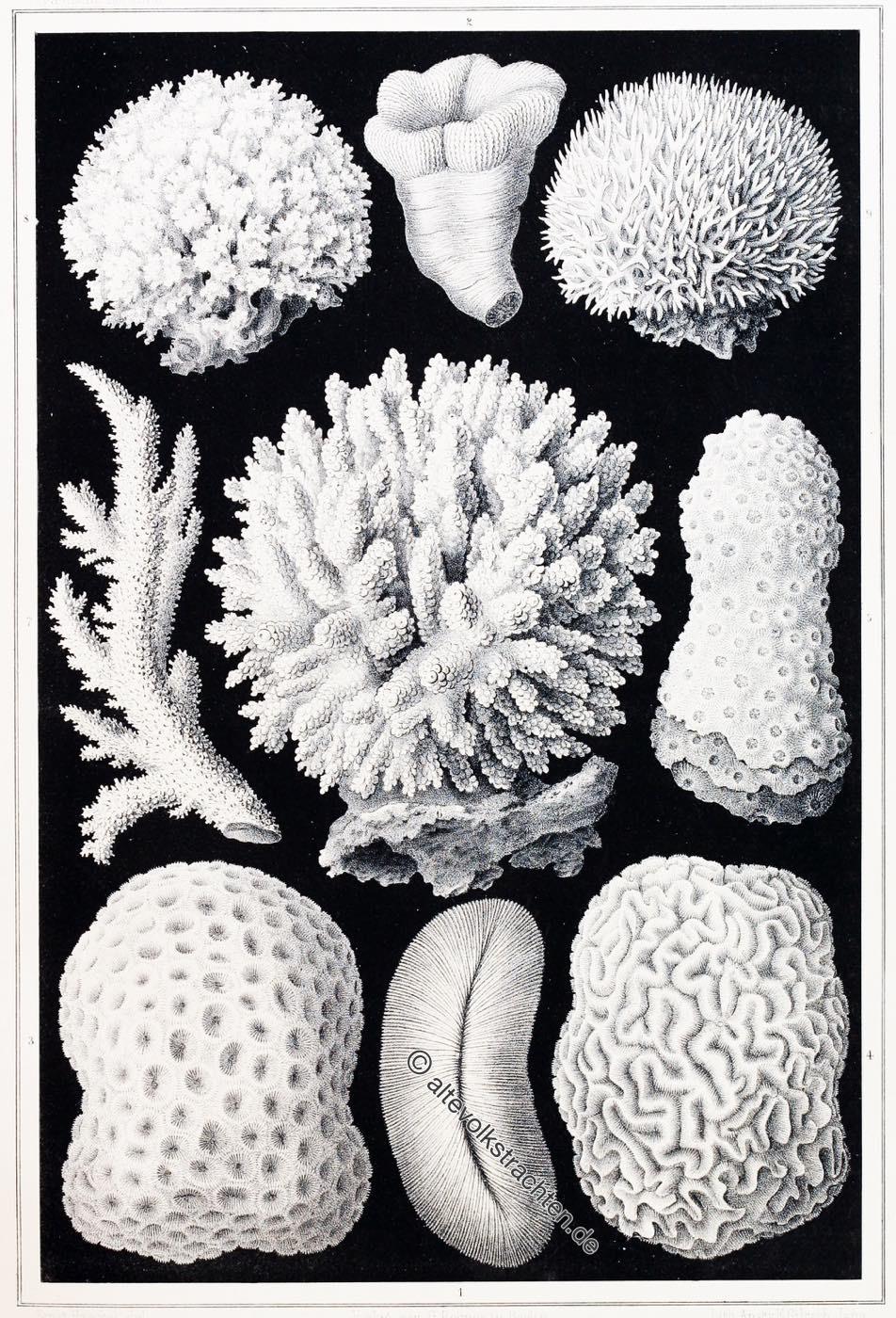 Kalkgerüste, Korallen, Sinai, Ägypten, Rotes Meer,