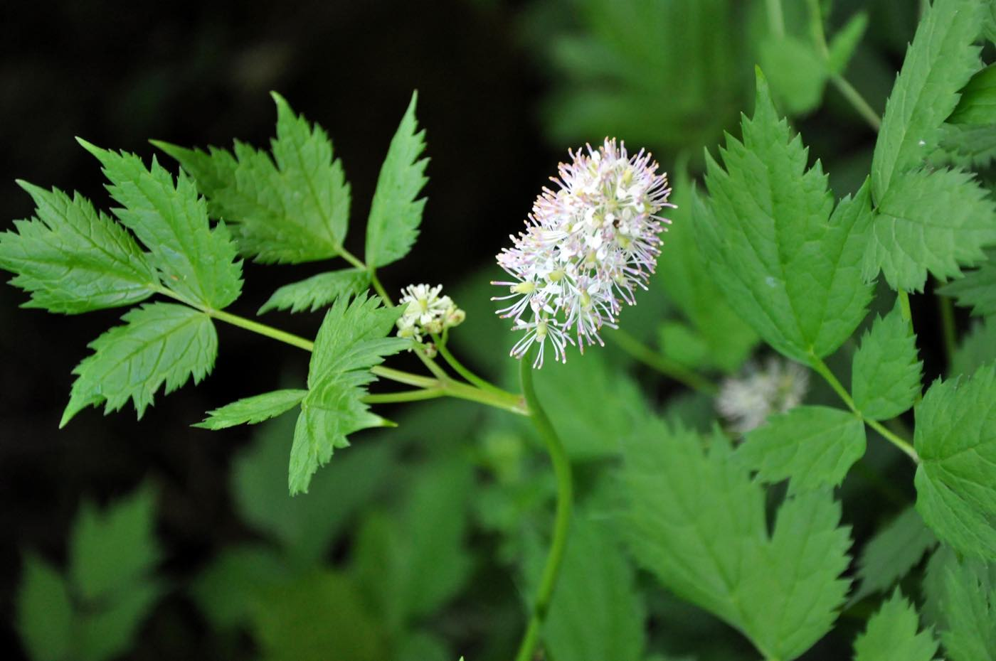 Actaea spicata, Zauberpflanze, Ähriges Christophskraut ,
