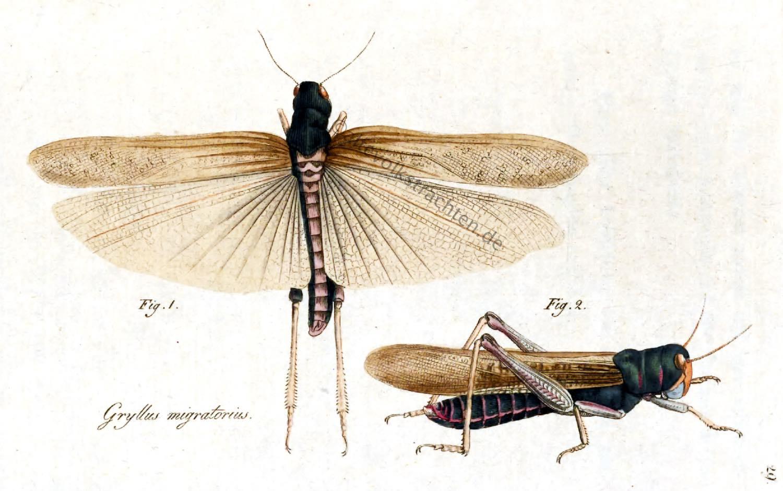 Gryllus migratorius, Wanderheuschrecke