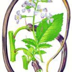 Ein neue Gemüsesorte im Jahre 1865. Der Schlangenrettich in England.