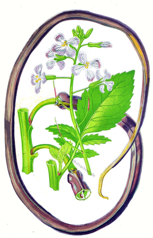 Raphanus caudatus, Schlangenrettich, Gemüsesorte, Rarität,