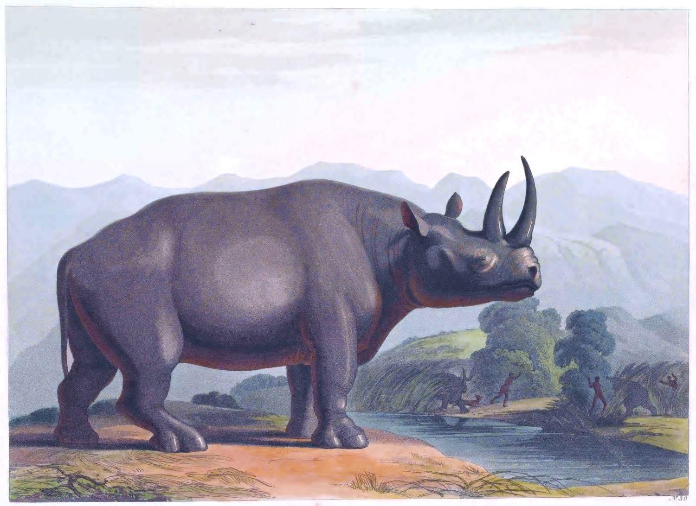 Nashorn, Afrika, Südafrika,